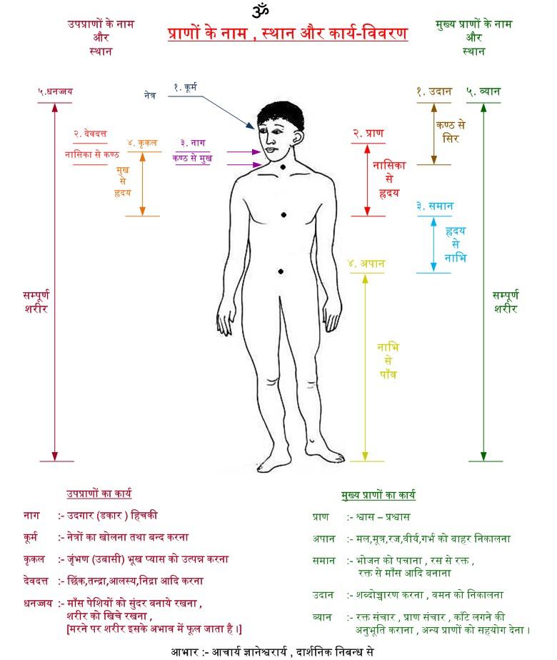Distribution of Prana in Human Body